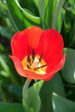 Red beautiful tulip Stock Photos