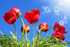Free Red Beautiful Tulips Stock Photography - 27522902