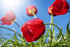 Red beautiful tulips Stock Images