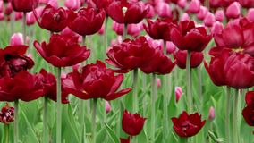 Red Beautiful tulips field in spring time, floral. Red and Pink Beautiful tulips field in spring time, floral background stock footage