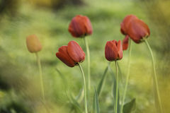Red beautiful tulips on green and yellow background. A bunch of lovely red tulips on yellow and green blurry background Royalty Free Stock Photography