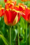 Red beautiful tulips Stock Photography