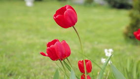 Red beautiful tulips stock video