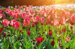 Red beautiful tulips Royalty Free Stock Photos