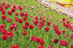 Red beautiful tulips Stock Image