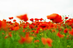 Red beauty. Beautifully red flower field in summer Stock Image