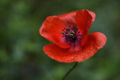 Red beauty Royalty Free Stock Photography