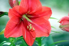 Red Beauty Close-Up. Big red Hibiscus at the Botanical Gardens Royalty Free Stock Photos