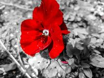 Red beauty. Red love flower royalty free stock photo