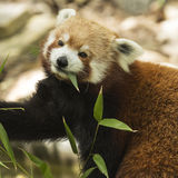 Red Beauty. Red Panda eating his morning meal Stock Photo