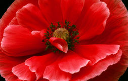 Red Beautiful Poppy (Papaver rhoeas) Stock Photo
