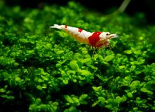 Red bee shrimp stay on grass or aquatic moss with dark and green background stock photo