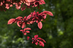 Red Beech Royalty Free Stock Images