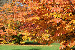 Red beech in autumn Royalty Free Stock Images