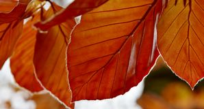 Red Beech tree leaves Stock Images