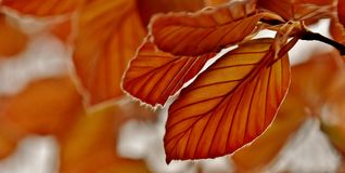 Red Beech tree leaves Royalty Free Stock Image