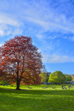 Red beech tree in park. Stock Photos