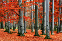 Red beech trees Stock Images