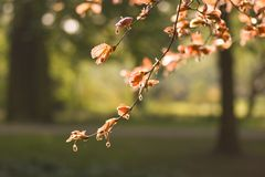 Red beechleaf in spring Stock Photo