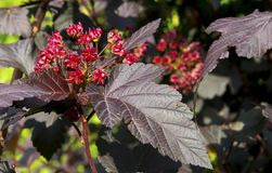 Red Beefsteak plant`s colorful leave. Perilla flower Stock Photo