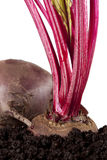 Red beet beetroot growing in the soil Stock Images