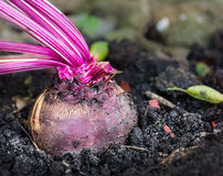 Red beet in garden soil plant close up Royalty Free Stock Photography