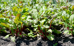 Red beet grows on a bed Stock Image