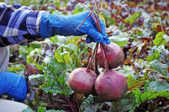 Red beet in hand Royalty Free Stock Photography