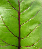 Red beet leaf. Texture of red beet leaf. Red veins Royalty Free Stock Photography