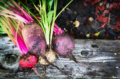 Red beet multicolor various on soil and wooden backgound in garden, top Royalty Free Stock Image