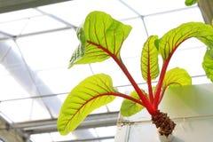 Red beet vertical soilless cultivation Stock Photos