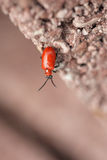 Red beetle. On a brown background of the concrete slabs, small depth of field Royalty Free Stock Photo