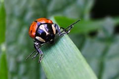 Red Beetle Royalty Free Stock Photography