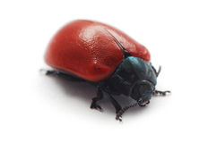 Red beetle Royalty Free Stock Photo