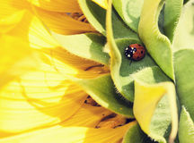Red beetle. On a leaf sunflower Stock Image