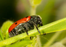 Red beetle. A beetle with red back with black dots sitting on a blade of grass Stock Images