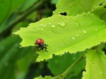 Red beetle. Is biting green leaves Stock Images