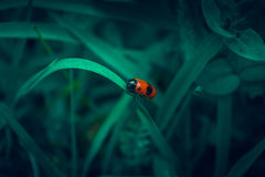 Red beetle with black spots similar to alien Royalty Free Stock Photography