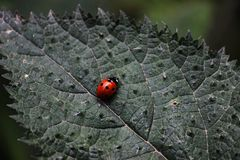 Red beetle with black spots Stock Image