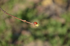Red beetle on a branch. Red beetle, ladybug, on a twig close-up on a spring sunny afternoon in the garden Royalty Free Stock Photo