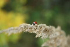 Red beetle on branch royalty free stock images