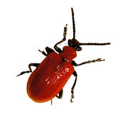 Red beetle, bug royalty free stock images