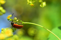 Red beetle, bug Royalty Free Stock Photography