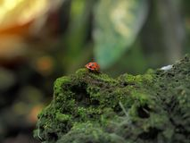 Red beetle bug walking on a rock that coverd in green fungus and moss. Selected focus.  royalty free stock photos