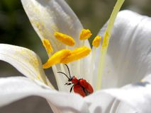 Red beetle. Red bug in white flower with yellow stamens Stock Images