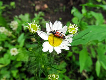 Red beetle on chamomile close-up Royalty Free Stock Photo