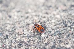 Red beetle crawls on a hot summer day on the asphalt royalty free stock photography