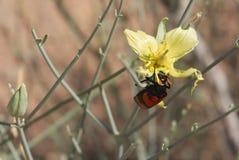 Red beetle on desert flower Stock Images