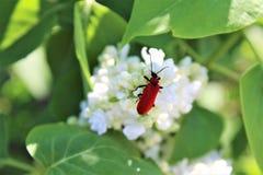 Red beetle. Detail on white syringa Stock Image