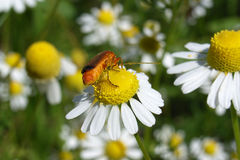 Red beetle on flower. A red beetle on a chamomile flower Stock Photography